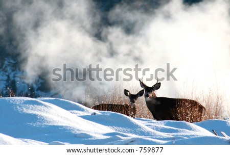 A pair of mule deer - stock photo