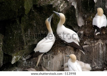 A pair of Northern Gannets nesting on a rocky cliff in Cape St. Marys Ecological Reserve, in Newfoundland, Canada. - stock photo