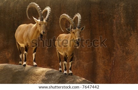A Pair of Nubian Ibexes Standing Side-By-Side on Top of a Hill - stock photo