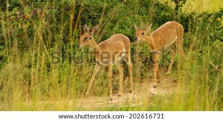 A pair of Oribi walk along a game trail among the grass of the Ugandan savanna - stock photo