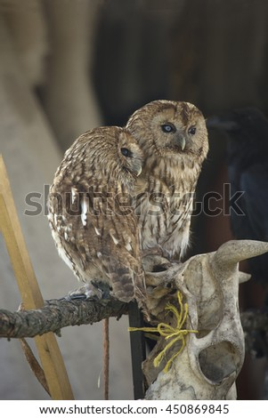 A pair of owls, snuggled up to each other and sitting on a perch