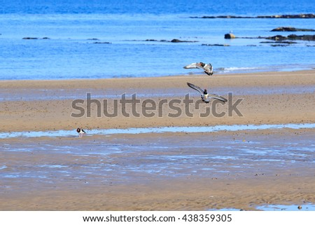 A pair of oystercatchers flying across a sandy beach