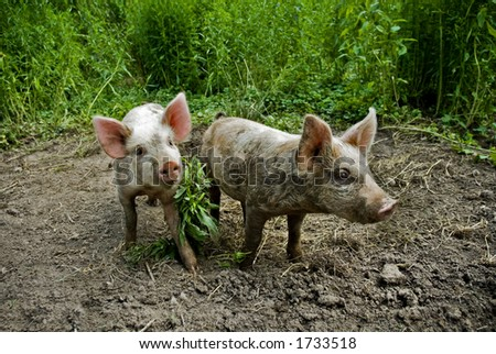A pair of piglets have been playing in the mud! - stock photo