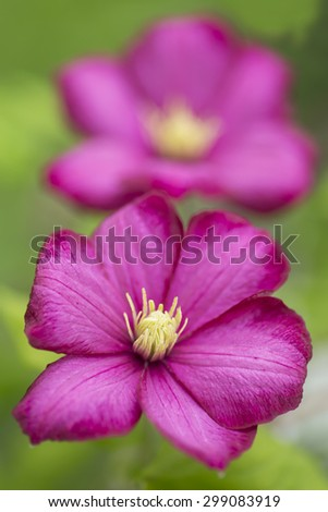 A pair of pink clematis blooms - stock photo