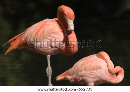 A pair of Pink Flamingos giving each other the eye.