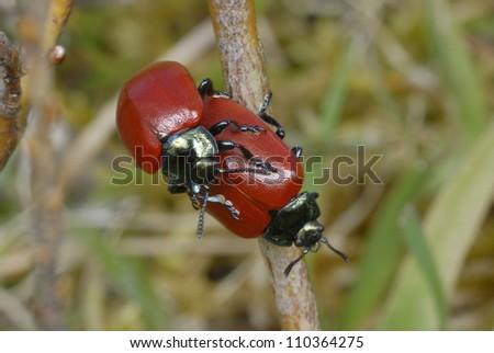A pair of Poplar Leaf Beetles (chrysomela populi) mating - stock photo