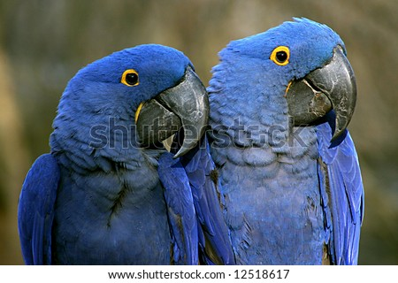pair purple macaws nashville zoo stock photo 12518617 shutterstock