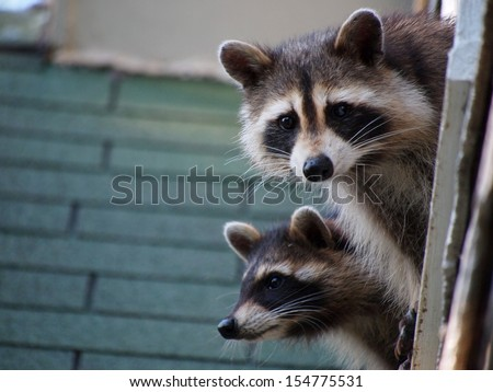 A Pair of Raccoons - stock photo