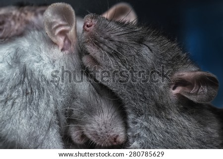 a pair of rats - stock photo