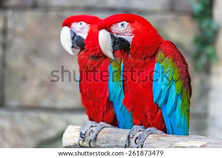 A pair of red-and-blue macaws (ara ararauna) perched in the jungle. - stock photo