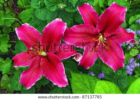 A pair of red orange lilly close up in garden - stock photo