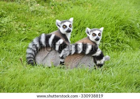 A Pair of Ring tail Lemurs sitting on fresh lush green grass. - stock photo