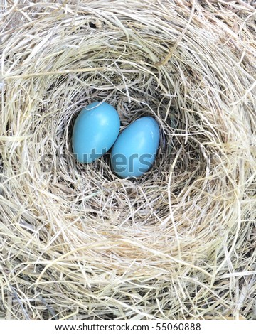 A pair of robin eggs sitting on the bottom of a nest.