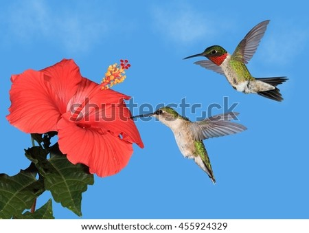 A pair of Ruby- throated hummingbirds (Archilochus colubris) at at flowering hibiscus. - stock photo