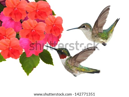 A pair of Ruby-throated Hummingbirds (Archilochus colubris) at impatiens flowers isolated on a white background. - stock photo