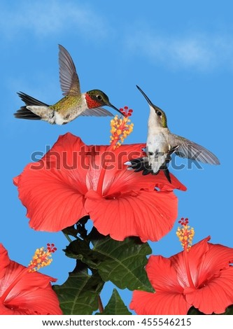 A pair of Ruby- throated hummingbirds (Archilochus colubris) at tropical hibiscus flowers with blue sky in the background. - stock photo