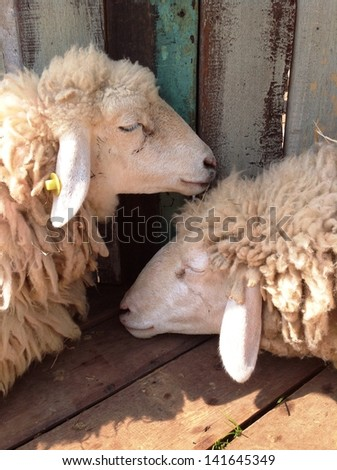 A pair of sheep sleeping on the wooden deck - stock photo