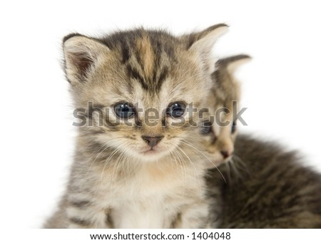 A pair of small kittens on a white background. These kittens are being raised on a farm in central Illinois - stock photo