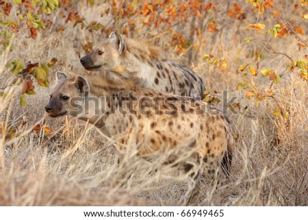 A pair of spotted hyaenas standing on alert in golden early morning sunshine - stock photo