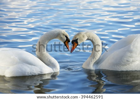 A pair of swans meeting in a romantic heart shape