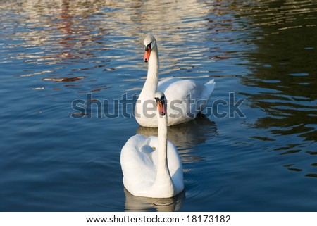 A pair of swans swim in the lake - stock photo
