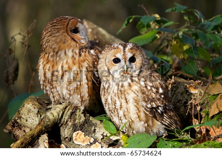 A pair of tawny owls in a forest - stock photo