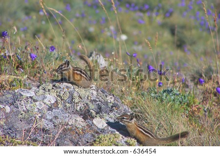 A pair of Townsend's Chipmunks in Olympic National Park, Washington State, USA - stock photo
