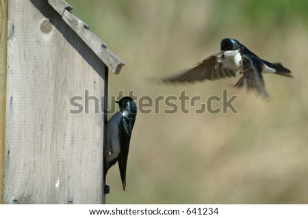 a pair of tree swallows tending their young - stock photo