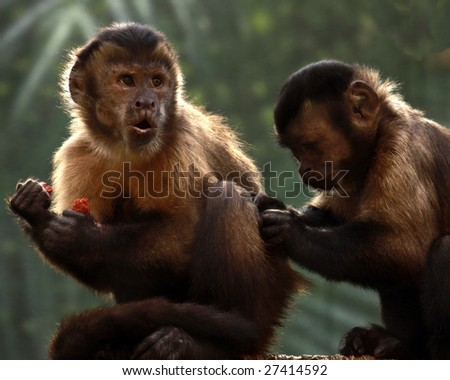 A pair of Tufted Capuchins, also known as Brown or Black-capped Capuchins: one eating while another grooms him - stock photo