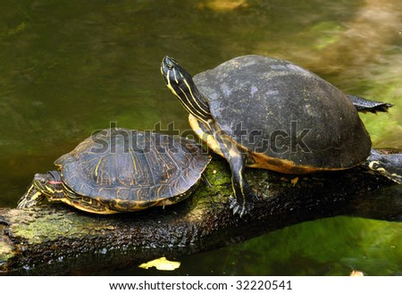 A pair of turtles resting near the shore - stock photo