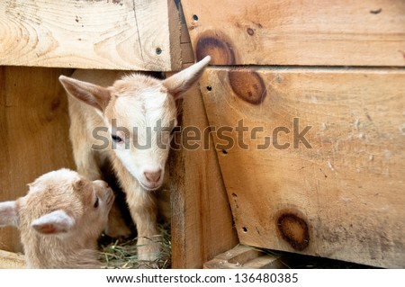 A pair of two-week old brown kids plays in a wooden box in a barn.