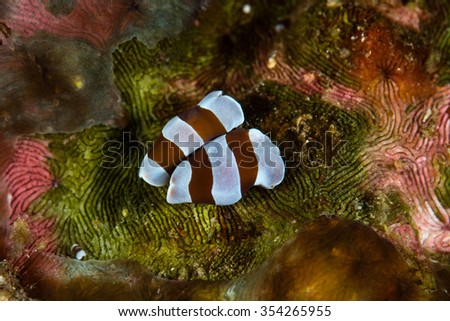 A pair of undescribed acoel flatworms is found on a coral reef in Raja Ampat, Indonesia. Many undescribed species still exist on tropical reefs throughout the world. - stock photo