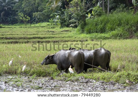 A pair of water buffalo harnessed for work in a paddy field, Sri Lanka. - stock photo