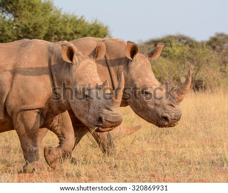 A pair of White Rhinos walking in savannah in South Africa - stock photo