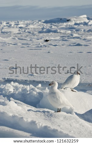 A pair of white snowy plover in winter Antarctic. - stock photo
