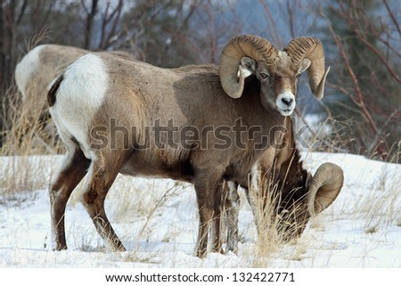 a pair of wild bighorn sheep (Ovis canadensis) - stock photo