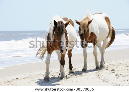 A Pair of Wild Horses walking side-by-side along the Beach at Assateague Island, Maryland