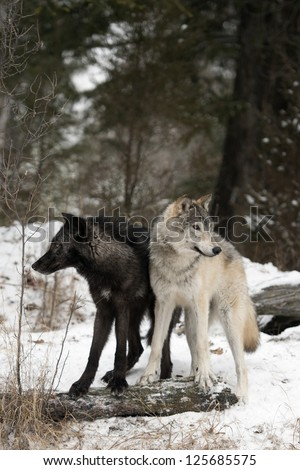 A Pair of Wolves in winter snow - stock photo