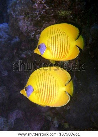 A pair of yellow butterflyfish swimming one above the other. Taken beneath the Red Sea off Egypts Sinai Peninsular. - stock photo