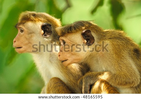 A pair of young Toque Macaques in Yala West National Park, Sri Lanka - stock photo