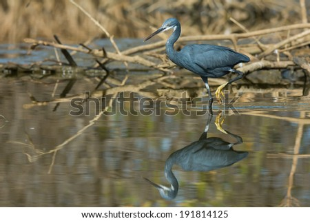 A pale Western Reef Heron (Egretta gularis) with foot raised reflected in shallow water - stock photo