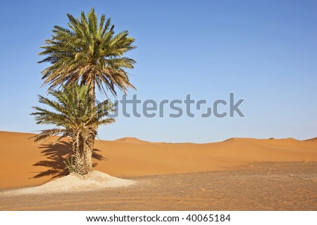 a palm in the desert with sand dunes and blue sky - stock photo