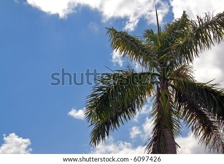 A palm tree in sunny South Florida. - stock photo