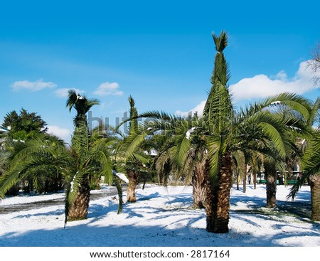 A palm tree in winter - stock photo