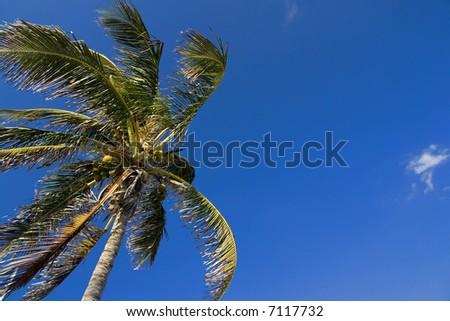 A palm tree soaring into a blue sky. - stock photo
