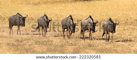 A panorama of a group of Blue Wildebeest or Gnu (Connochaetes taurinus) walking in a line , kicking up dust, Kalahari Desert, South Africa - stock photo