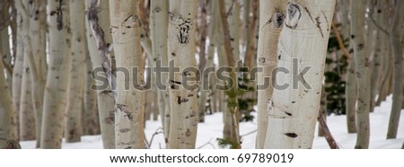 A Panorama of Birch Trees in Winter - stock photo