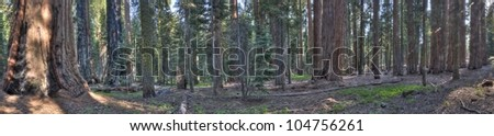 A panorama shot of Sequoias in the Giant Forest at Sequoia National Park - stock photo