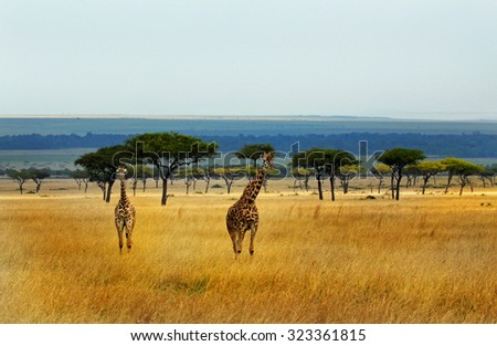 A panorama showing giraffes on the open plains in Kenya - stock photo