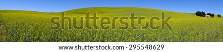 A panorama view of field with  bright yellow canola flowers under a blue sky in the Palouse region,  united states.